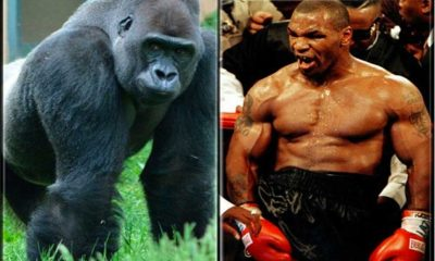 Mike Tyson Fight Gorilla